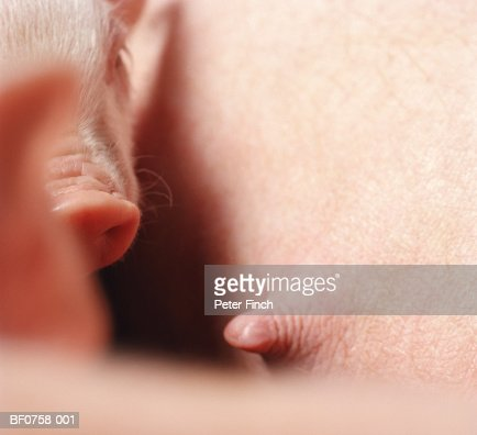 Piglet and sow (Sus sp.), close-up of sow's teat : Stock Photo