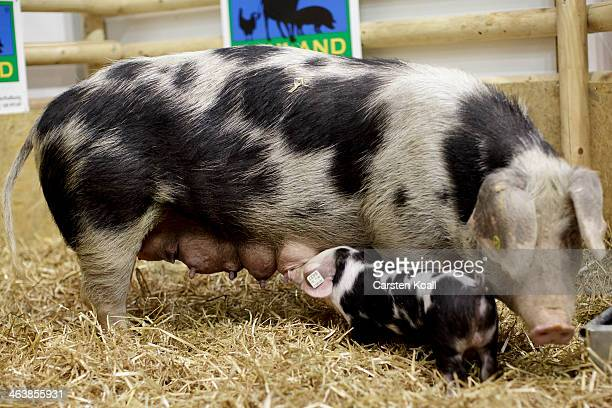 A piglet drinks at the udder of a Bunte Bentheimer pig in the Neuland enclosure in the farm animals Hall of the Gruene Woche International...