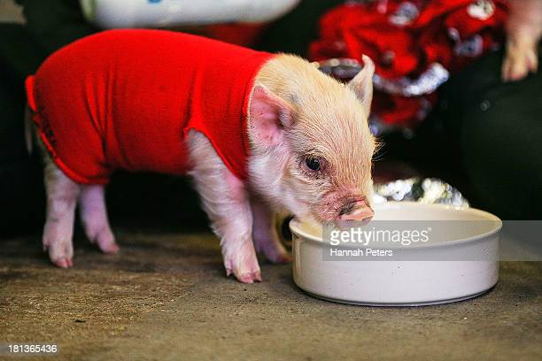 A piglet is brought along to watch race 13 of the America's Cup between Emirates Team New Zealand and Oracle Team USA at Shed 10 on September 21 2013...