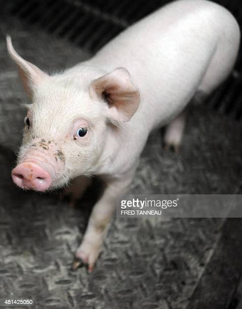 A piglet is pictured in a pen on a farm owned by French farmer JeanMichel Juhel July 20 2015 in Pledeliac western of France AFP PHOTO FRED TANNEAU