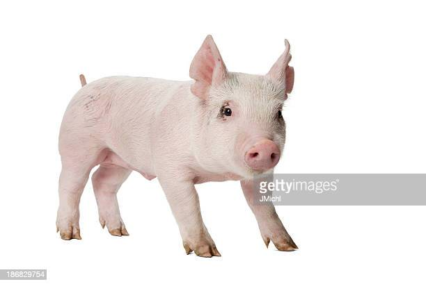 Piglet Looking at Camera Standing on White Background.