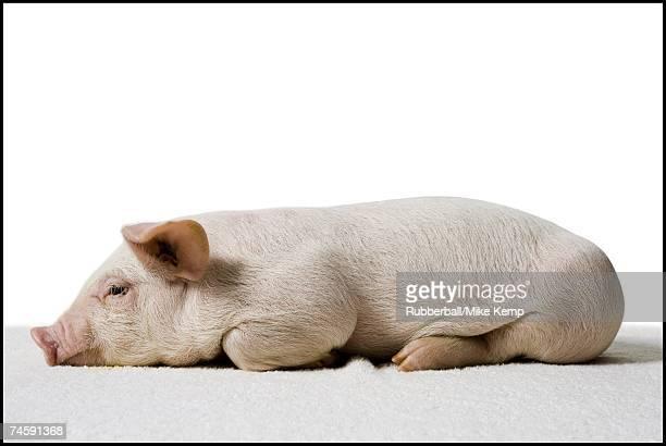 Piglet lying down profile