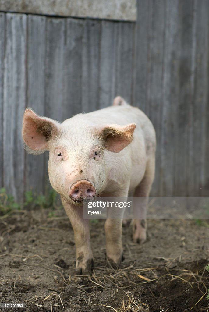 Piglet : Stock Photo