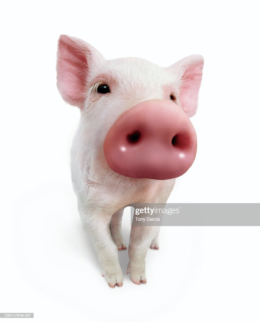 Piglet (wide angle, digital composite) : Stock Photo