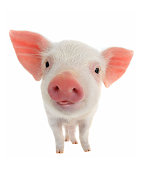 pig with language on a white background