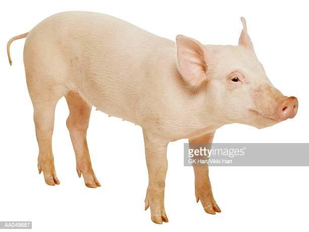 Piglet  (Sus domesticus)
