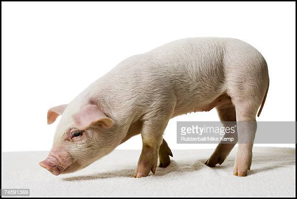 Piglet standing and smelling
