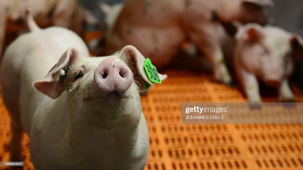 A piglet with an ear badge raises his muzzle in his enclosure at the agricultural fair 'Gruene Woche' in Berlin Germany on January 18 2013 New labels...
