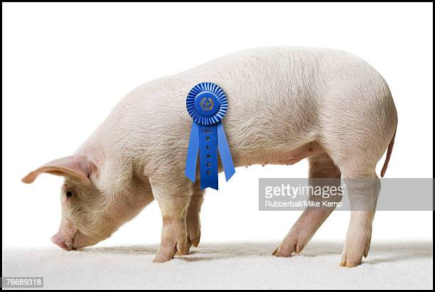 Piglet with blue ribbon