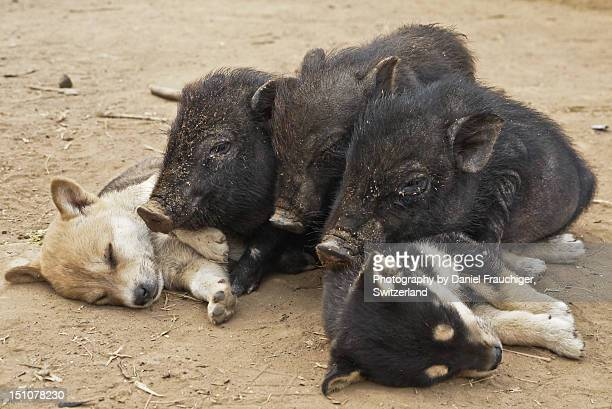 Piglets and puppies