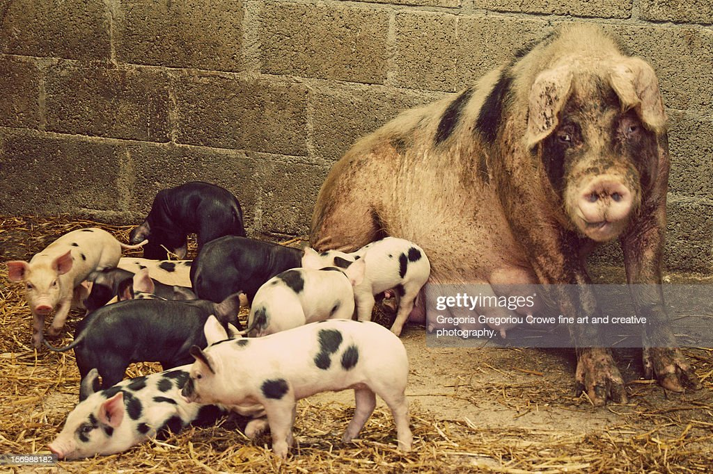 Piglets and sow : Stock Photo