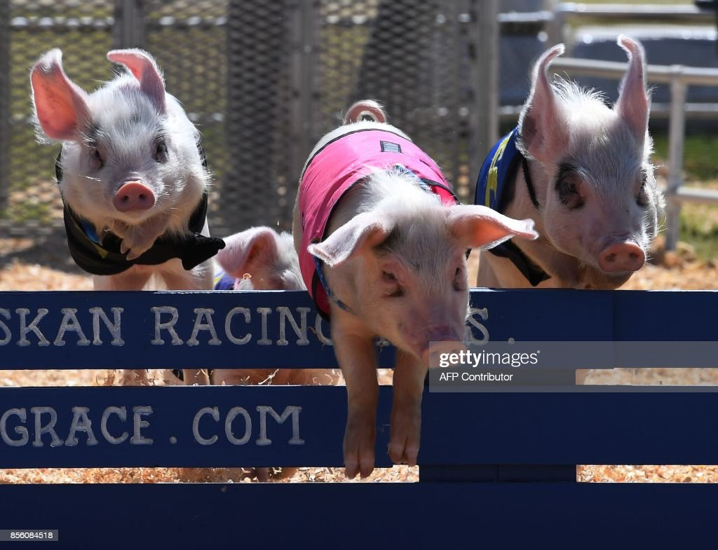 Piglets compete in the All Alaskan Pig race during the annual Kern County Fair in Bakersfield, California on September 30, 2017. / AFP PHOTO / Mark RALSTON