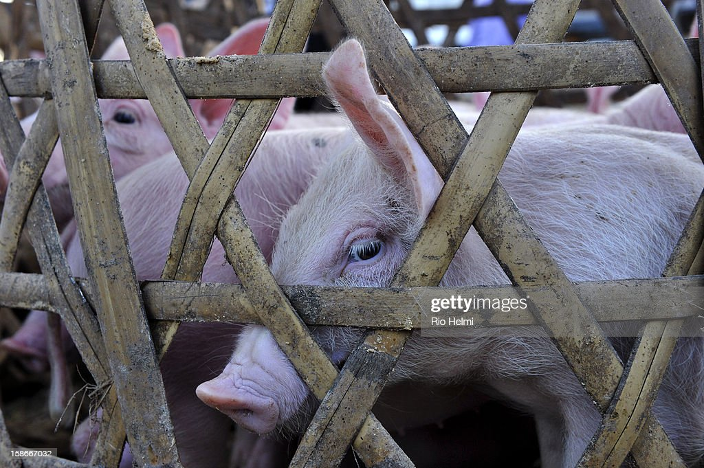 MARKET, PAYANGAN, BALI, INDONESIA - : Piglets for sale at the Payangan market. Foregin breeds have become increasingly popular in Bali as they grow bigger thanthe traditional swayback Balinese pigs.