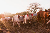 Piglets in barnyard