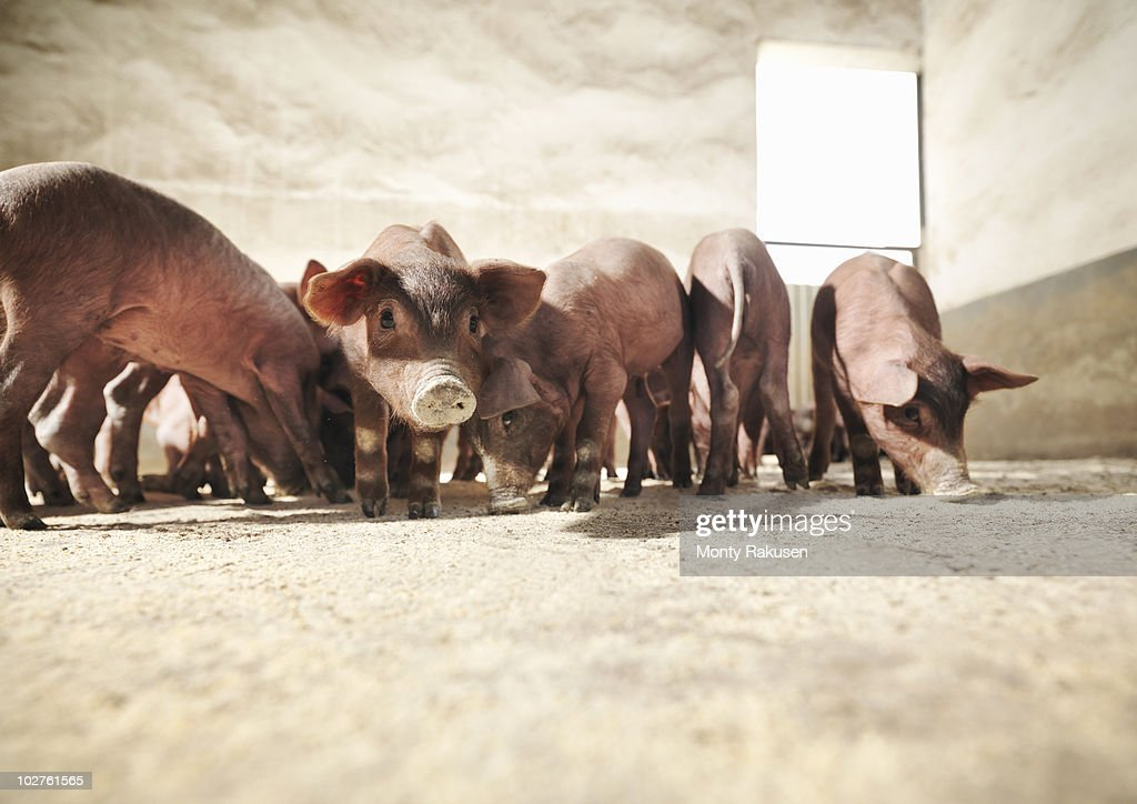 Piglets in pen eating feed : Stock Photo