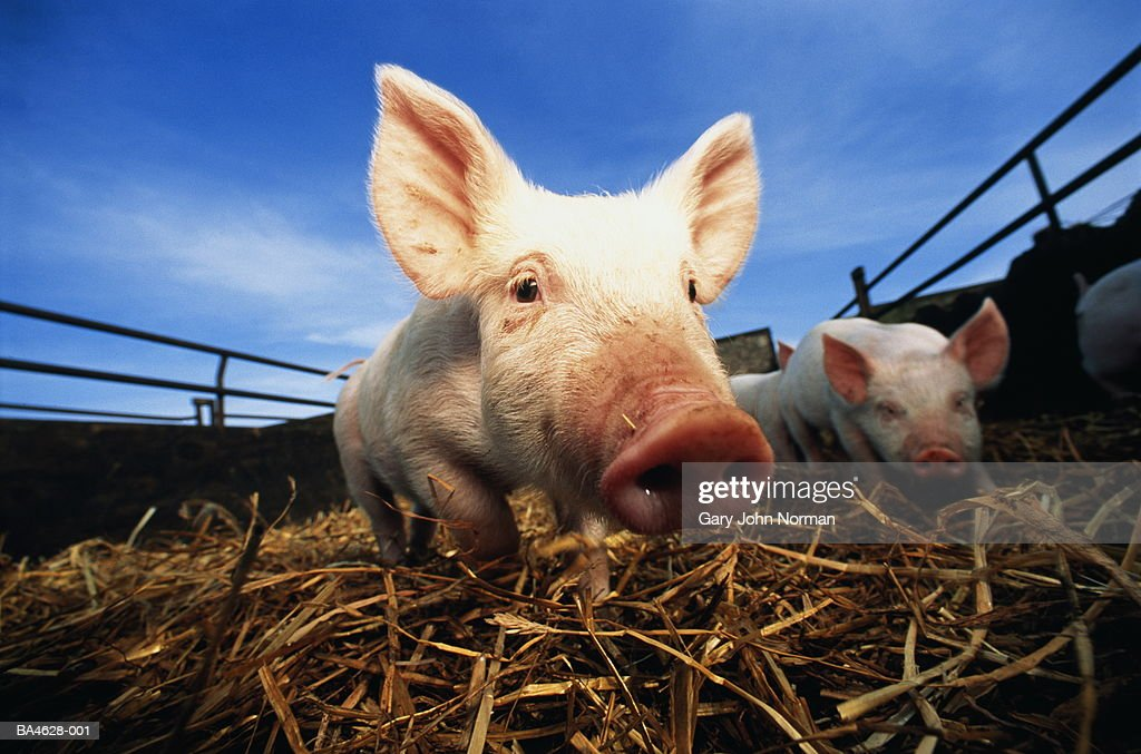 Piglets (Sus sp.) in pen, outdoors, close-up : Stock Photo