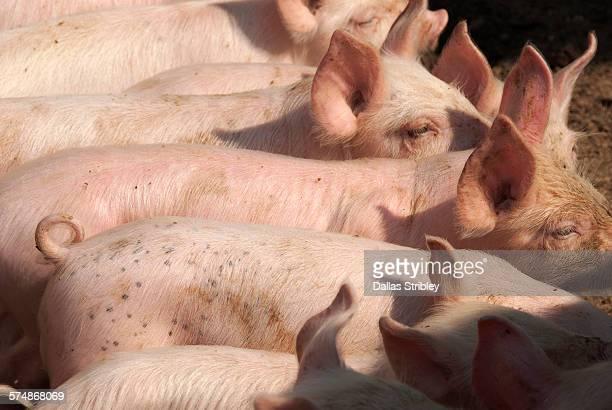 Piglets on a farm near Manciano, Tuscany