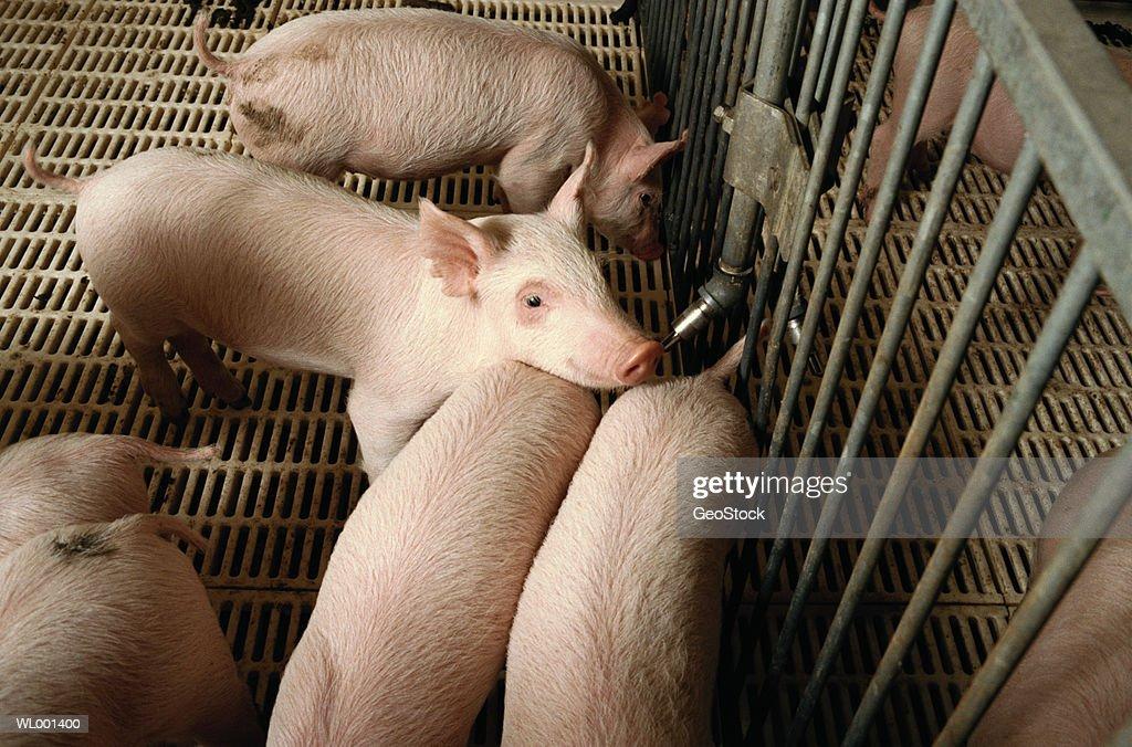 Piglets : Stock Photo