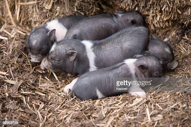 Piglets resting on hay of a barn