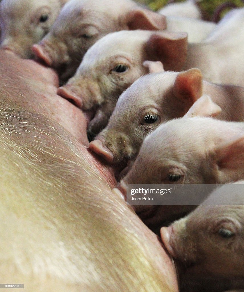 Piglets suck milk from the teets of their mother at the Ebsen organic farm on January 13, 2011 in Langenhorn, Germany. Organic foods retailers are reporting a surge in demand following the recent dioxin contamination scandal sparked by the announcement by the German company Harles and Jentzsch that some of the fatty proteins it had supplied to animals feeds producers was tainted with dioxin. German authorities responded by barring 4,700 mostly poultry and hog farms from selling their products until laboratory tests could guarantee them dioxin free. Investigators are meanwhile pursuing a criminal investigation against the leading employees at Harles and Jentzsch. Organic farms have thus far been immune from the scandal since they use no industrially-produced animal feed.