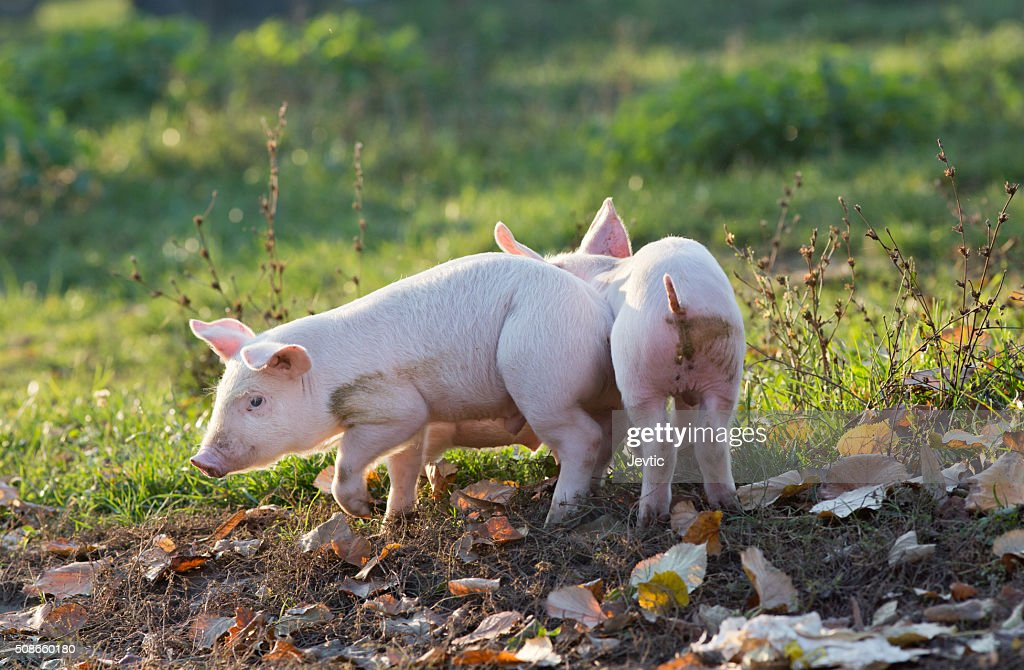 Piglets walking on farm : Stock Photo