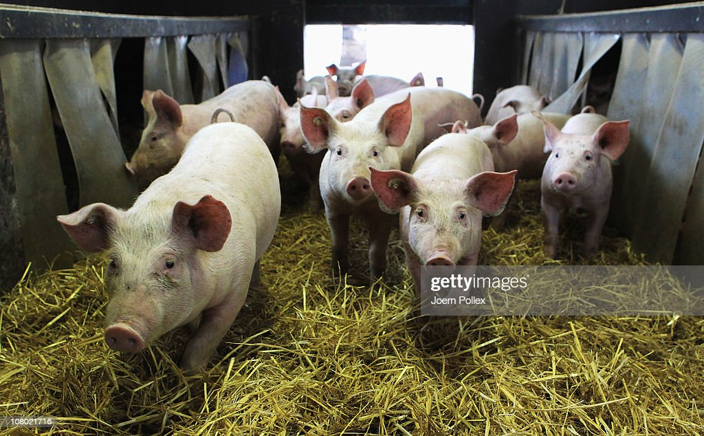 Pigs are seen in their pen at the Ebsen organic farm on January 13, 2011 in Langenhorn, Germany. Organic foods retailers are reporting a surge in demand following the recent dioxin contamination scandal sparked by the announcement by the German company Harles and Jentzsch that some of the fatty proteins it had supplied to animals feeds producers was tainted with dioxin. German authorities responded by barring 4,700 mostly poultry and hog farms from selling their products until laboratory tests could guarantee them dioxin free. Investigators are meanwhile pursuing a criminal investigation against the leading employees at Harles and Jentzsch. Organic farms have thus far been immune from the scandal since they use no industrially-produced animal feed.