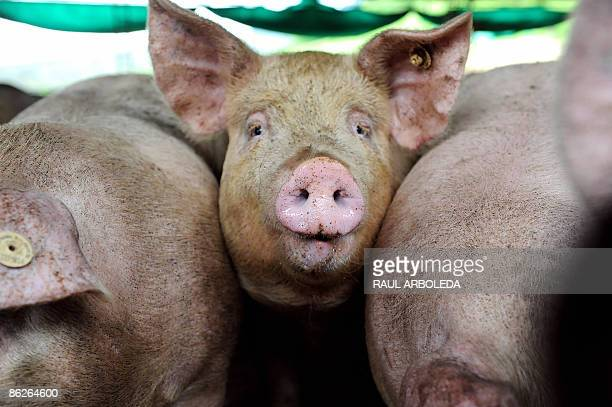 Pigs are seen on a swine farm in Rio Negro outkirts of Medellin Colombia on April 282009 An outbreak of deadly swine flu in Mexico and the United...