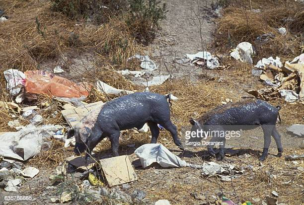Pigs covered in mud forage in a garbage dump in Matamoros Tamaulipas Mexico