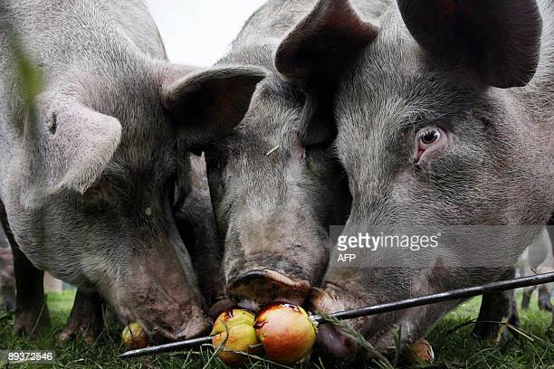 Pigs eat apples on a barbecue stick in a organic farm in Fleringen on July 28 2009 The pigs received roasted potatoes apples pie and roasted corn AFP...