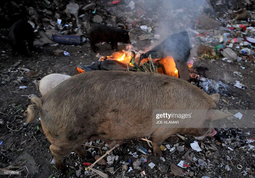Pigs feed on trash near Mamelodi township in Pretoria on June 16, 2010 during the 2010 World Cup football tournament in South Africa.