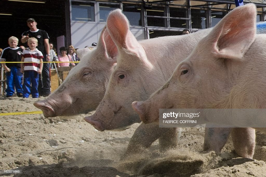 Pigs from the team 'Rapid pigs from the Jorat' round the track during their race on September 16, 2012 at the Swiss fair 'Comptoir Suisse' in Lausanne. AFP PHOTO / FABRICE COFFRINI