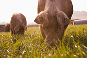 Pigs grazing in grass