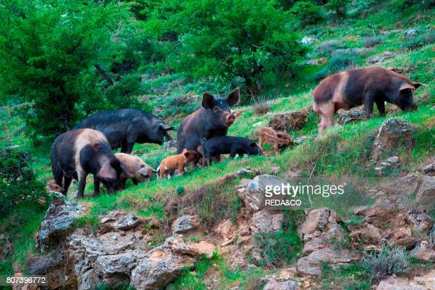 Pigs grazing on the slopes of Gennargentu near Desulo Gennargentu and Orosei Gulf National Park Sardinia Italy Europe