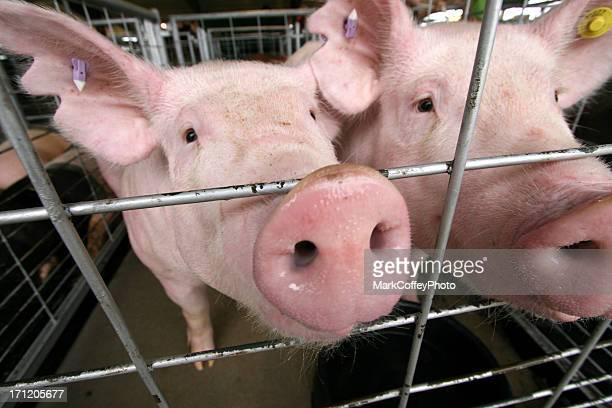 Schweine in einem Käfig