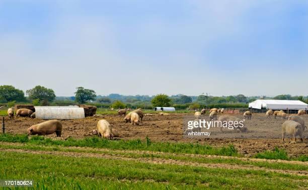 Schweine in einem Feld