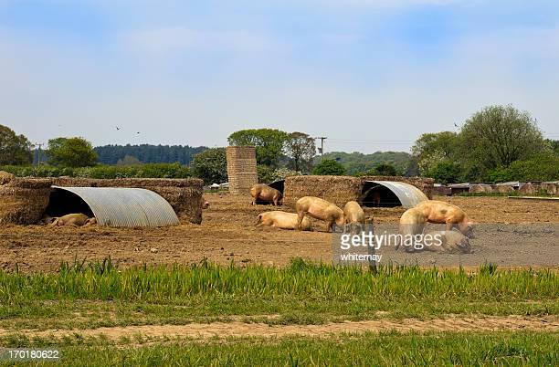 Schweine in eine Schwein-farm