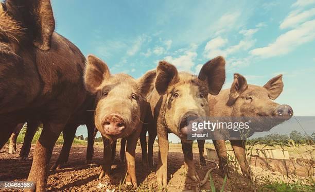 Los cerdos en una fila