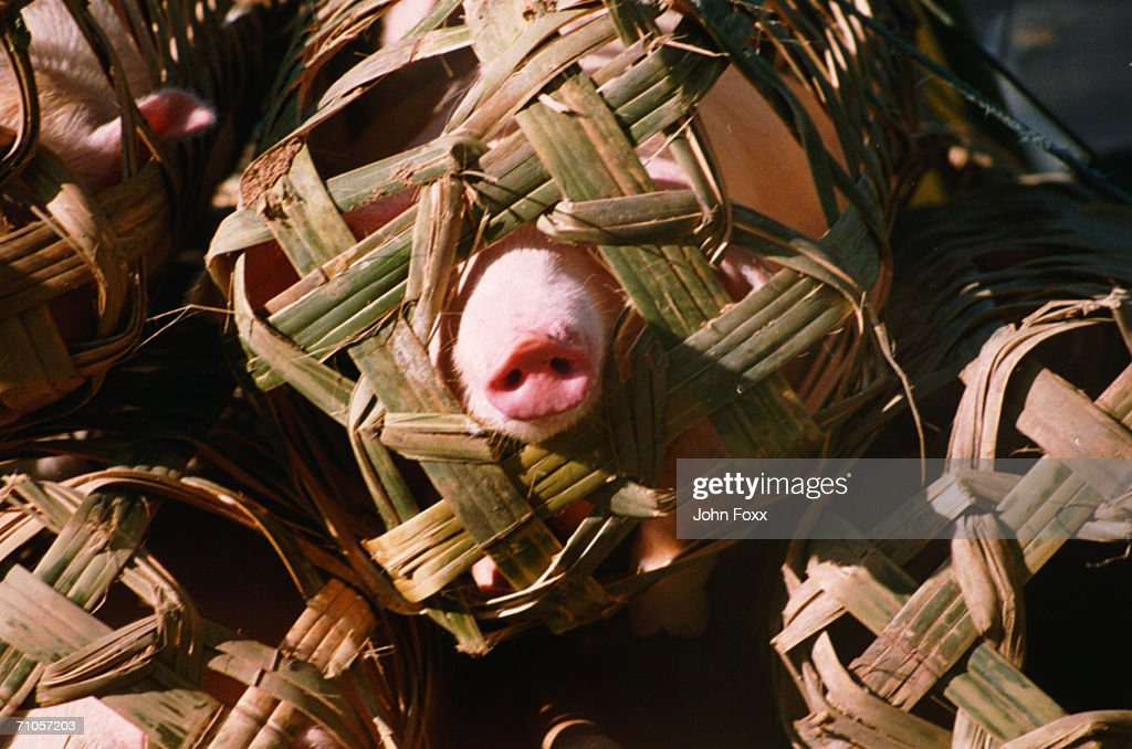 pigs in baskets : Stock Photo