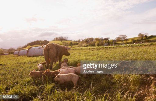 Pigs in pasture : Stock Photo