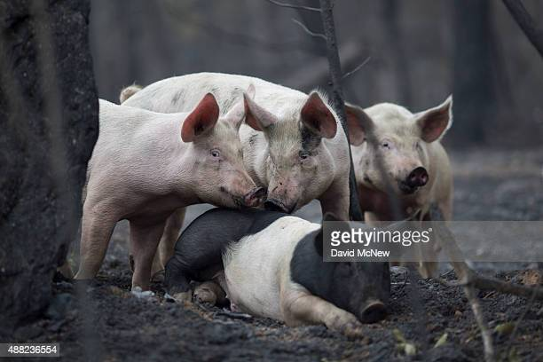 Pigs look for food while wandering a forest burned by the Valley Fire on September 14 2015 in Middletown California The 95squaremile fire has...