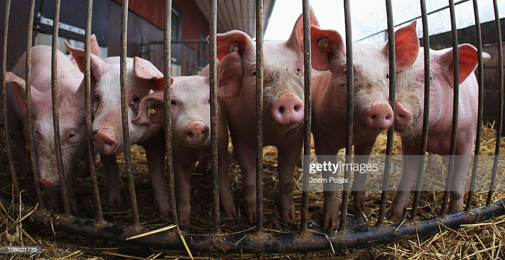 Pigs look out from their pen at the Ebsen organic farm on January 13, 2011 in Langenhorn, Germany. Organic foods retailers are reporting a surge in demand following the recent dioxin contamination scandal sparked by the announcement by the German company Harles and Jentzsch that some of the fatty proteins it had supplied to animals feeds producers was tainted with dioxin. German authorities responded by barring 4,700 mostly poultry and hog farms from selling their products until laboratory tests could guarantee them dioxin free. Investigators are meanwhile pursuing a criminal investigation against the leading employees at Harles and Jentzsch. Organic farms have thus far been immune from the scandal since they use no industrially-produced animal feed.