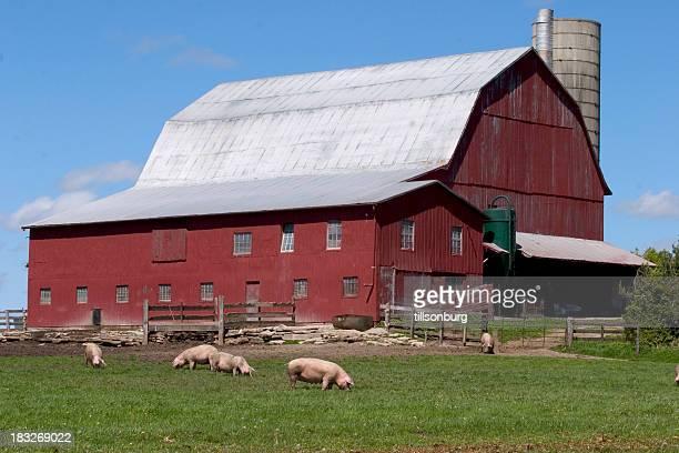 Los cerdos de explotación