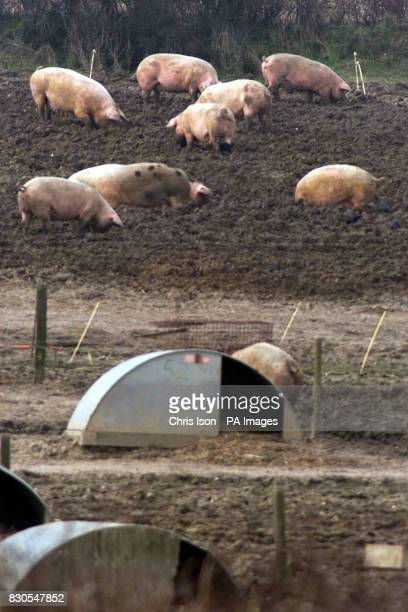 Pigs on quarantined land at Farringford Farm at Freshwater Bay on the Isle of Wight where Ministry of Agriculture officials are investigating the...