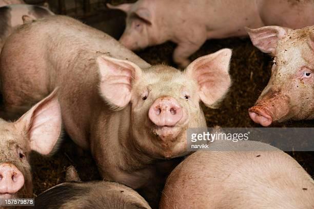 Los cerdos en la granja