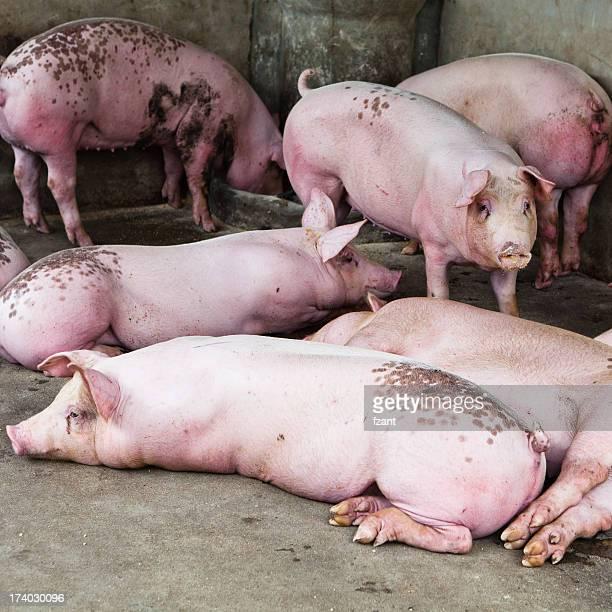Schweine auf der farm