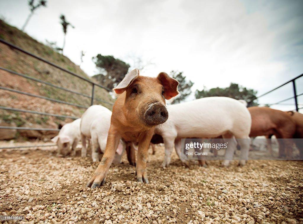 Pigs : Stock Photo
