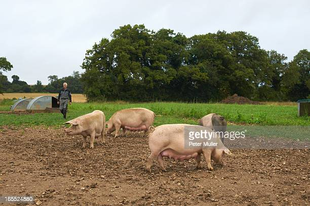 Pigs rooting in dirt field