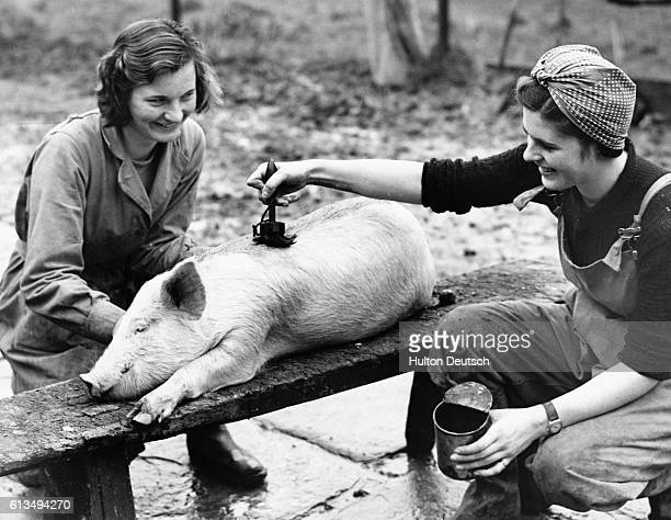 A pig's skin is treated with oil to maintain its good condition for the Christmas market Usk Wales 1939