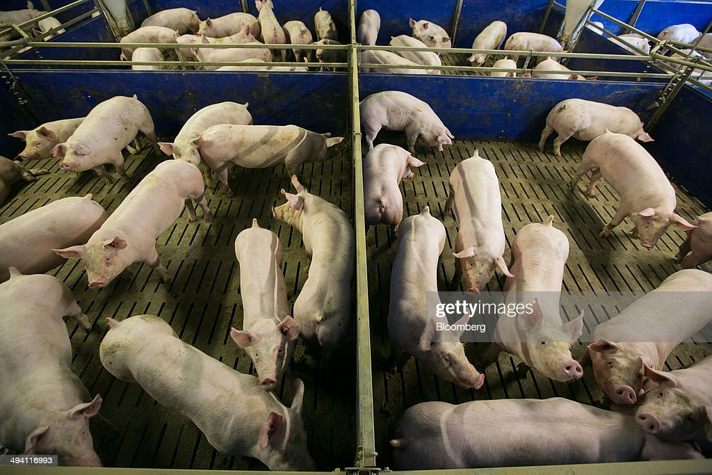 Pigs stand in pens at a Interessengemeinschaft der Schweinehalter Deutschlands (ISN) consortium pig farm in Lohne, Germany, on Tuesday, May 27, 2014. European Union pig farms are missing out on a boom in U.S. prices after Russia banned imports from the 28-country bloc, spurring Brussels to file a World Trade Organization case today after talks to reopen trade failed. Photographer: Krisztian Bocsi/Bloomberg via Getty Images