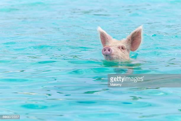 Pigs swimming in water. Sea. Exuma. Bahamas.